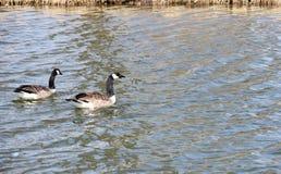 Due anatre che nuotano nello stagno Fotografia Stock