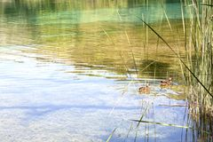 Due anatre che nuotano in un lago Fotografie Stock