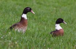 Due anatre che si siedono nell'erba Fotografia Stock