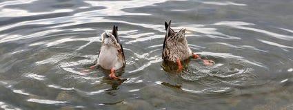 Due anatre del germano reale con le loro teste nell'acqua Immagine Stock