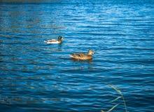 Due anatre marroni che nuotano e che galleggiano sulla superficie dell'acqua blu Fotografia Stock Libera da Diritti