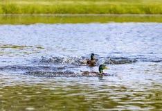 Due anatre maschii di Mallard che fanno le onde Fotografia Stock
