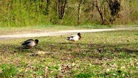 Due anatre maschii, germani reali che fanno concorrenza per accoppiarsi con una femmina, rivalità della fauna selvatica archivi video