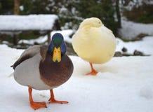 Due anatre nella neve fotografia stock libera da diritti