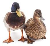 Due anatre selvatiche Fotografie Stock Libere da Diritti