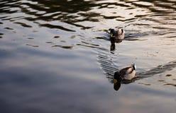 Due anatre selvatiche che galleggiano sul lago fotografia stock