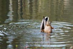 Due anatre selvatiche nell'acqua fotografia stock libera da diritti