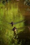 Due anatre su acqua immagini stock libere da diritti