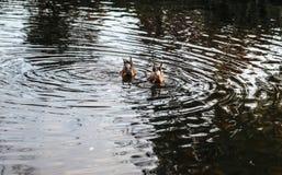 Due anatre sull'acqua immagine stock libera da diritti