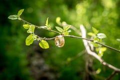 Due anelli su un ramo con le foglie Fotografie Stock