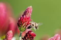 Due api - duello per il fiore immagini stock