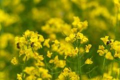 Due api e giacimenti del seme di ravizzone Fondo confuso giallo Macro tiro di foto immagine stock