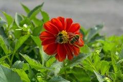 Due api impollinano il fiore della zinnia fotografie stock
