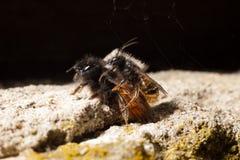 Due api selvagge Fotografia Stock