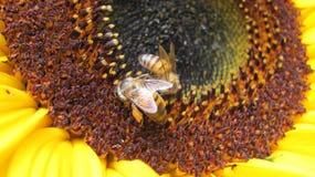 Due api su un girasole Fotografia Stock Libera da Diritti