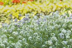 Due api sui fiori porpora in primavera fotografia stock