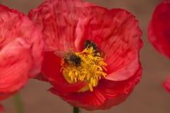 Due api in un fiore rosa del papavero Fotografia Stock