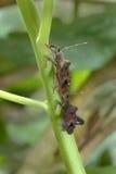 Due Arancio-hanno fornito di punta gli insetti Foglia-footed Fotografia Stock Libera da Diritti