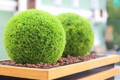 Due arbusti verdi decorativi nella forma della palla in vaso da fiori di legno Fotografia Stock Libera da Diritti