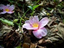 Due arrossiscono fiori rosa della camelia sulla terra immagini stock