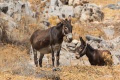 Due asini che riposano, Grecia Rodhos Immagini Stock