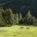 Due asini nel prato della montagna vicino a col de vars in francese Alta Provenza Fotografia Stock