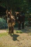 Due asini su un recinto per bestiame da un'azienda agricola immagine stock libera da diritti
