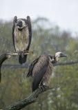 Due avvoltoi Immagini Stock