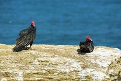 Due avvoltoi di tacchino nella riserva naturale di Paracas nel Perù Fotografie Stock Libere da Diritti