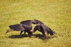 Due avvoltoi neri stanno corrispondendo - atratus del Coragyps Fotografie Stock