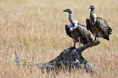 Due avvoltoi si siede sullo strappo Fotografia Stock