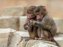 Due babbuini giovanili di Hamadryas Immagini Stock