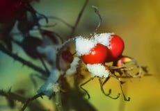 Due bacche rosse della rosa canina su un ramo illuminato accendendosi a n Fotografia Stock
