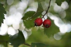 Due bacche rosse mature fresche su un fondo delle foglie verdi fotografia stock