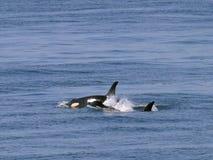 Due balene dell'orca Fotografia Stock Libera da Diritti