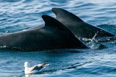 Due balene pilota Immagini Stock Libere da Diritti