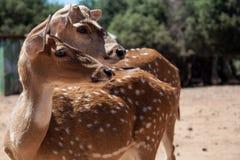 Due Bambi che affronta la stessa direzione allo zoo fotografia stock