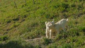 Due bambini della capra che combattono sul pascolo verde stock footage