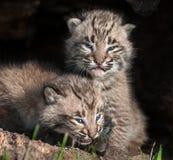 Due bambino Bobcat Kits (rufus di Lynx) in ceppo vuoto Fotografie Stock