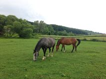 Due bei cavalli Fotografia Stock Libera da Diritti