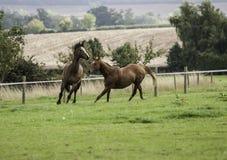 Due bei cavalli di baia che corrono in un campo Immagini Stock