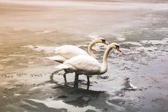 Due bei cigni bianchi stanno stando sul ghiaccio vicino all'acqua fotografia stock
