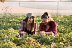 Due bei e giovani ragazze dell'agricoltore che esaminano il raccolto del fagiolo della soia Fotografie Stock