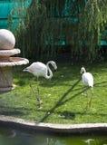 Due bei fenicotteri nel parco dell'uccello taigan Fotografie Stock