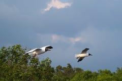 Due bei gabbiani tailandesi, volanti sopra una foresta della mangrovia, vicino ad una banca di delta del fiume fotografia stock libera da diritti