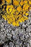 Due bei licheni Fotografia Stock Libera da Diritti
