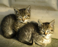 Due belle bugie dei gattini, del gattino e del gatto e si siedono vicino alla parete Fotografia Stock