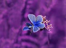Due belle farfalle blu si siedono avanti su un meado lilla dell'estate Fotografia Stock