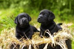 Due bello cucciolo di cane nero di razza Labrador Immagine Stock Libera da Diritti
