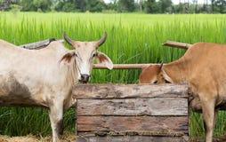 Due bestiame delle mucche che mangiano le erbe in scatola di legno con il fondo della campagna Fotografie Stock